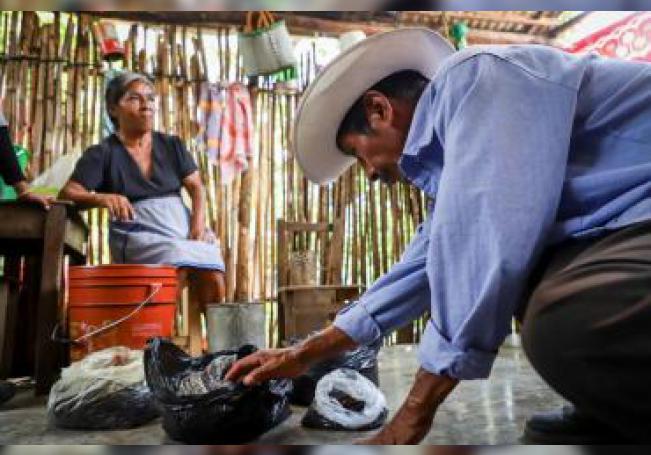 Habitantes de varios municipios del suroriental estado mexicano de Chiapas, esperan cada año con ansias y alegría la temporada de lluvias para atrapar una hormiga comestible llamada nucú, chicatana o tzizim. EFE/Carlos López