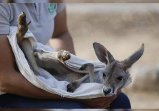 Fotografía de Khya, una canguro rojo bebé, el 13 de julio de 2019, en Guadalajara (México). EFE/Francisco Guasco