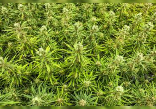 Fotografía de plantas de marihuana. EFE/Warren Toda/Archivo