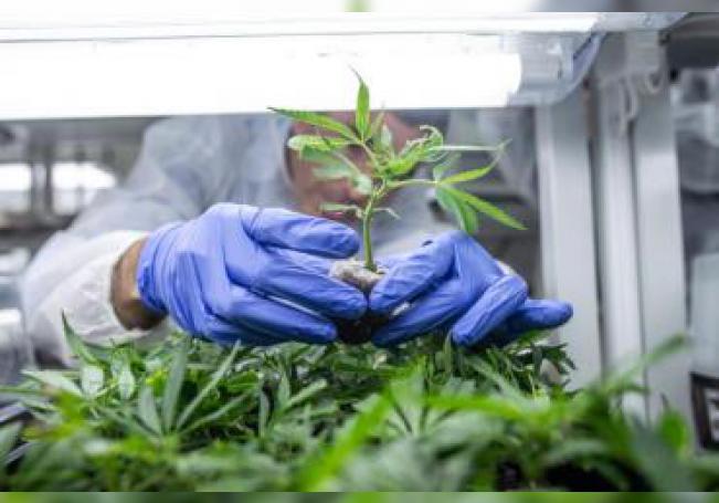 Un trabajador revisa las plantas de cannabis en un invernadero. EFE/ Bea Kallos PROHIBIDO SU USO EN HUNGRÍA/Archivo