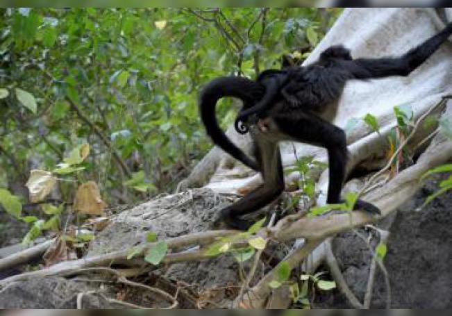 Fotografía fechada el 11 de diciembre de 2019, que muestra un ejemplar de mono araña (Ateles), con su cría de tres meses en el municipio de Chiapa de Corzo en el estado de Chiapas (México). EFE/Carlos López
