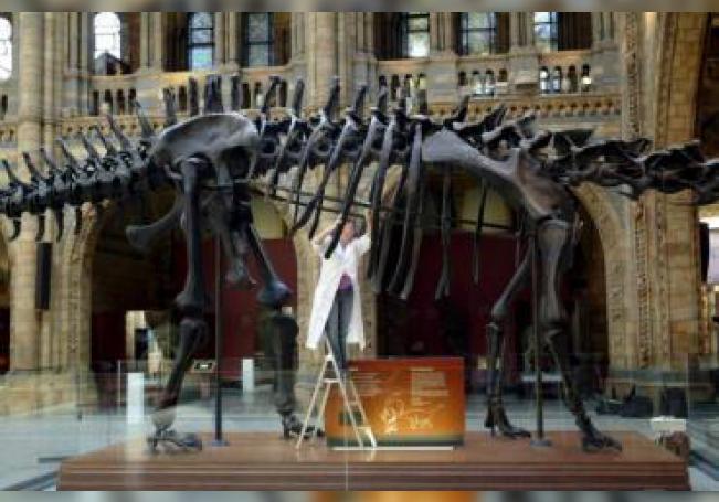 Una empleada limpia el símbolo más importante del Museo de Historia Natural de Londres, una réplica de un esqueleto de diplodocus de 26 metros de largo. EFE/HO/Archivo