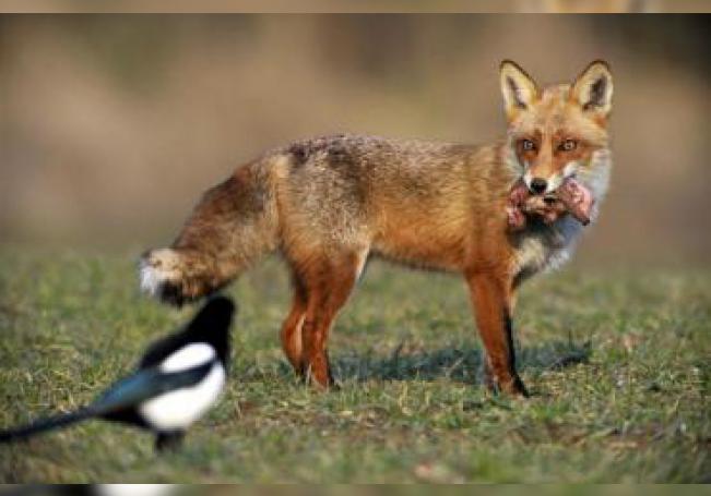 Un zorro rojo (Vulpes vulpes) y una hurraca (Pica pica).