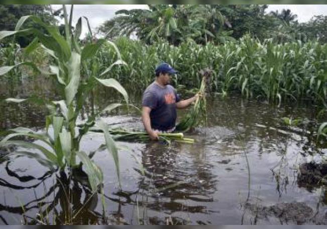 Un campesino revisa su cosecha de maíz inundada, este jueves en la ciudad de Villahermosa, en el estado de Tabasco(México). EFE/Jaime Avalos