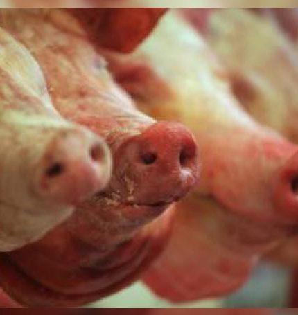 Cabezas de cerdos se exhiben el 22 de mayo de 2014, en un punto de venta de carne de porcino en Ciudad de México (México). EFE/Sáshenka Gutiérrez/Archivo