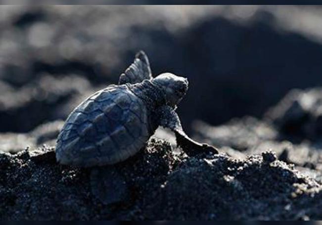 Decenas de tortugas lora (Lepidochelys olivacea), son liberadas en las playas del Refugio de Vida Silvestre Playa Hermosa-Punta Mala en Playa Hermosa, Costa Rica