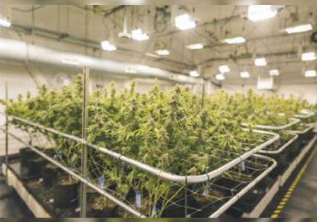 México tiene un excelente ecosistema para el cultivo de la marihuana.