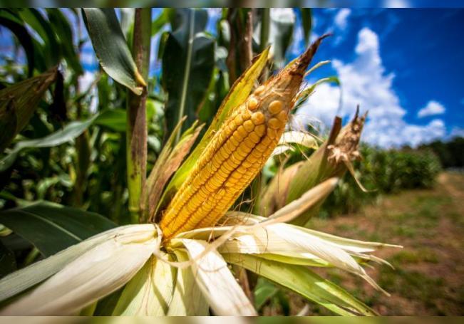 Fotografía de archivo de un cultivo de maíz. EFE/ Marcos Méndez/Archivo