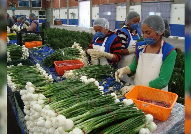 Fotografía cedida por la secretaría de Agricultura y Desarrollo Rural (Sader), muestra a personas mientras trabajan en una empacadora de cebollas el 11 de agosto de 2020. EFE/ Sader SOLO USO EDITORIAL NO VENTAS