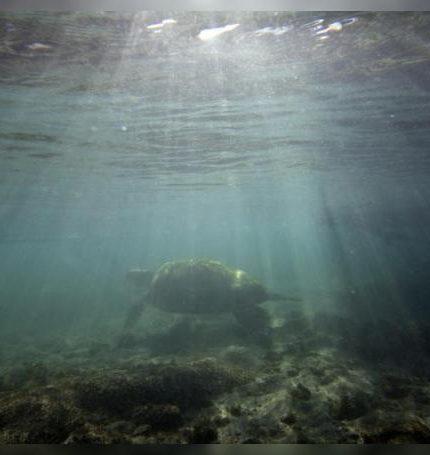 Una tortuga marina en medio del Océano Pacífico. EFE/Ian Salas/Archivo