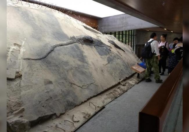 Espécimen de ictiosaurio con su contenido estomacal visible como un bloque que se extrae de su cuerpo. EFE/Foto cedida por Ryosuke Motani.