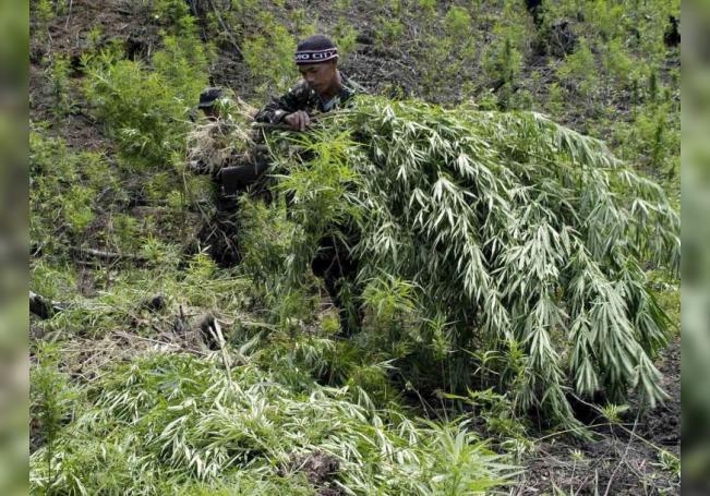 Descubren en Colorado plantación de marihuana vinculada a cárteles mexicanos